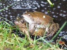 Frogs spawning 20 February