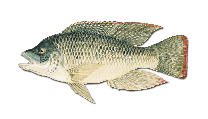 The mozambique tilapia oreochromis mossambicus urban for What type of fish is tilapia