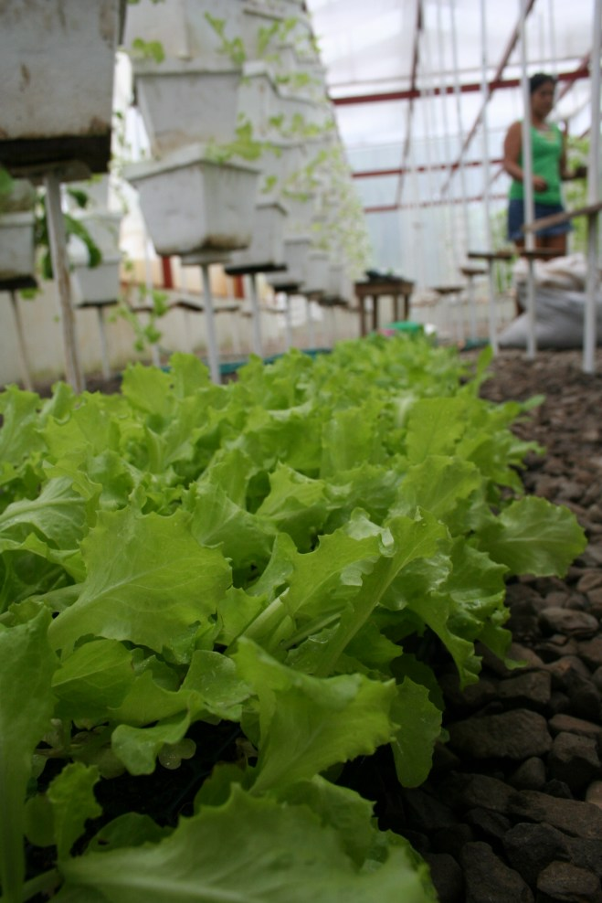 lettuce production