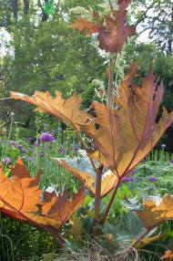 Rheum palmatum var. tanguiticum with it's big red-colored leaves is a structure plant.