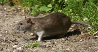 brown-rat-sm.jpg