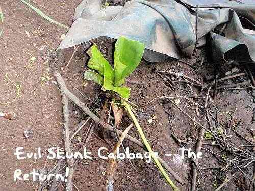 Skunk Cabbage - This is now like something out of a horror film!