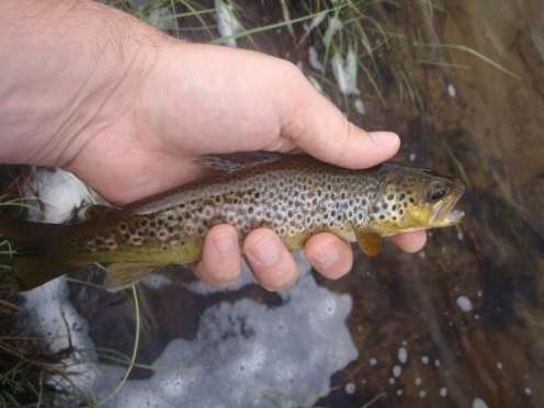 A highland trout