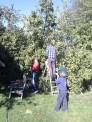 Oct N10: Harvesting for Apple Day
