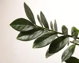 Planta zamioculcas zamifolia folhas