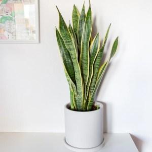 Sansevieria trifasciata em vaso Urban Jungle