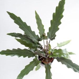 Alocasia lauterbachiana Urban Jungle