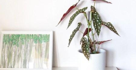 Begonia maculata Urban Jungle