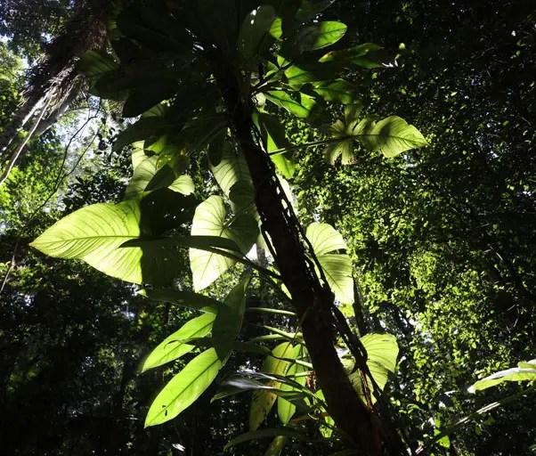 Philodendron no habitat natural