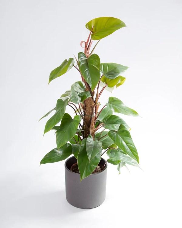 Philodendron ou filodendro com vaso Urban Jungle
