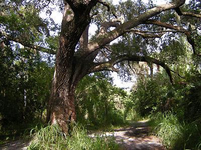 Schaefer_tree
