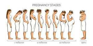Stages of pregnancy: Pregnancy Trimesters  Urban Mamaz Blog