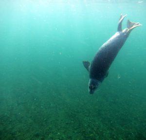 Harbor Seal underwater