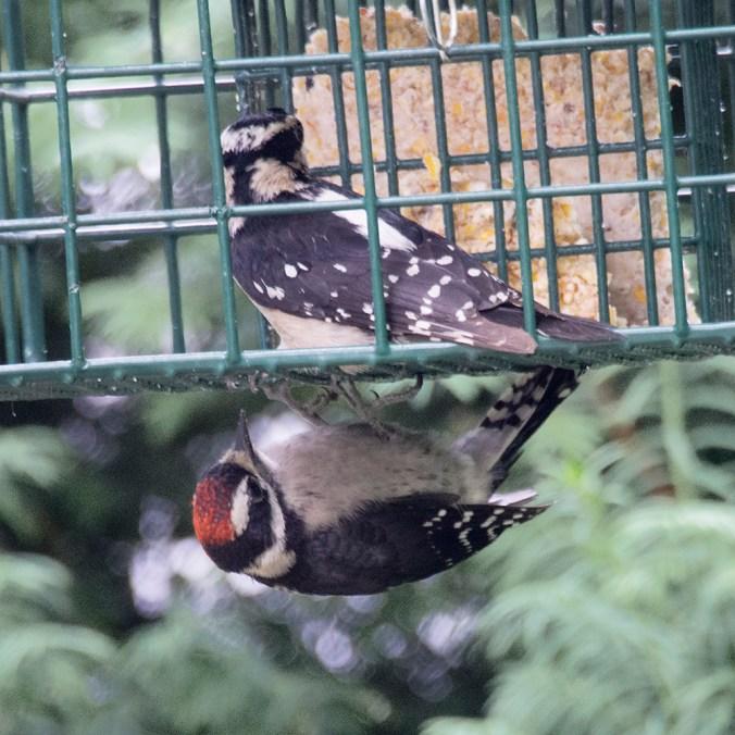 Baby Downy Woodpecker at Suet Feeder