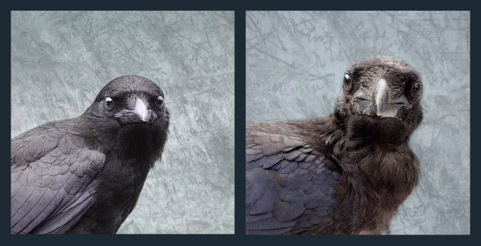 Baby Crow and Baby Raven