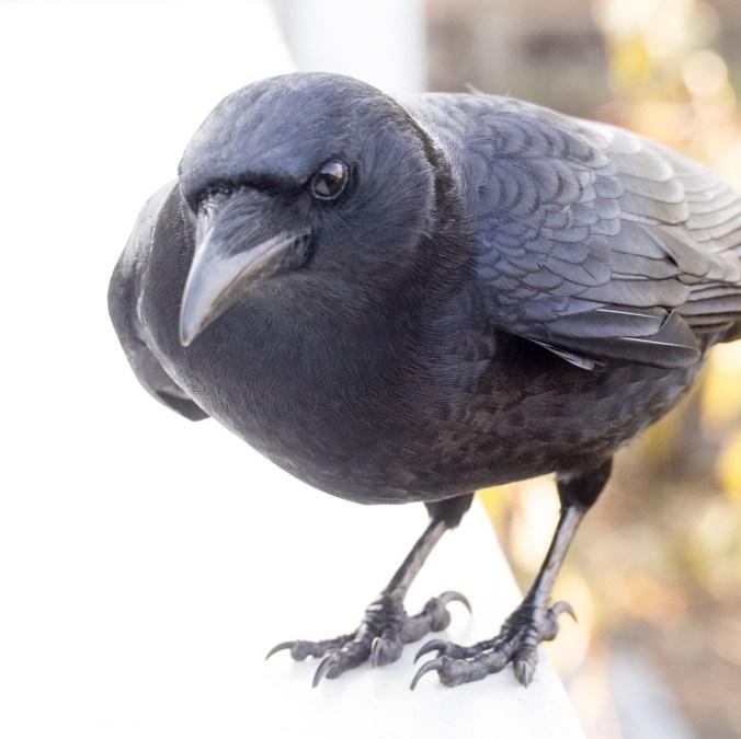 Eric the Crow