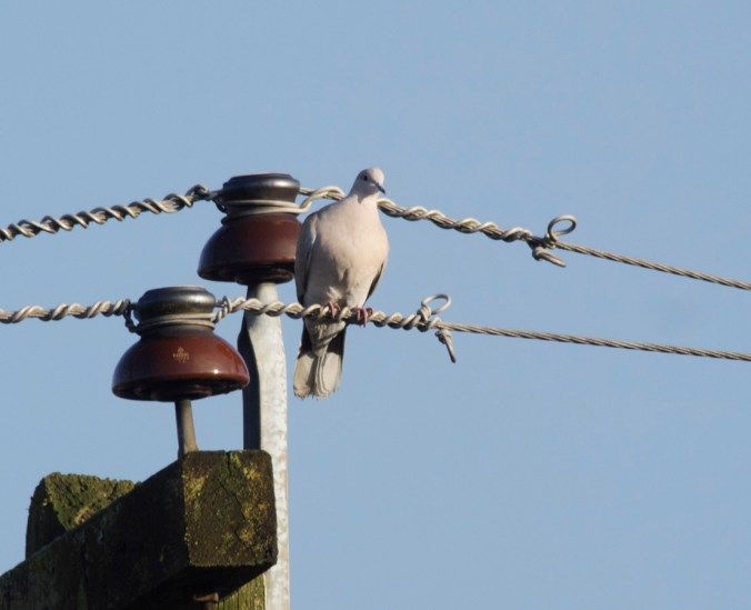 Sunbathing collared dove.