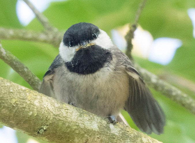 It's really hard to picture anything much cuter than a baby chickadee.