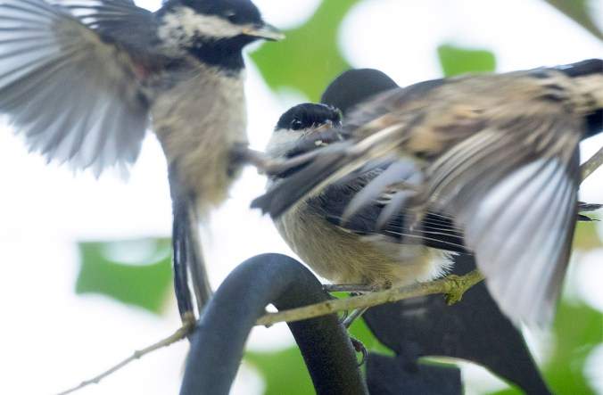 Chickadee rush hour at the bird feeder