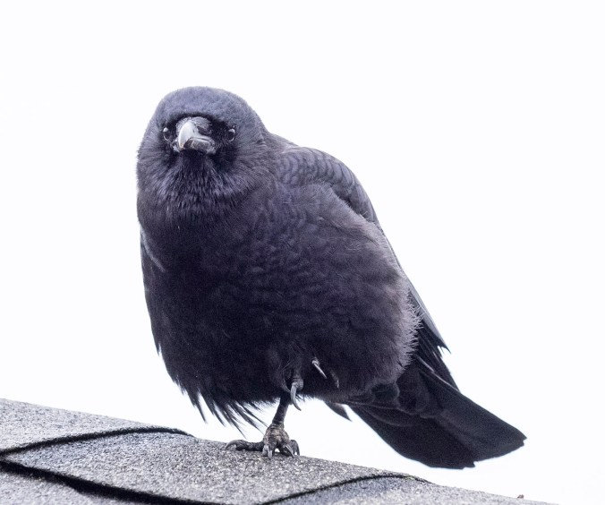 Hank the crow stands on one leg