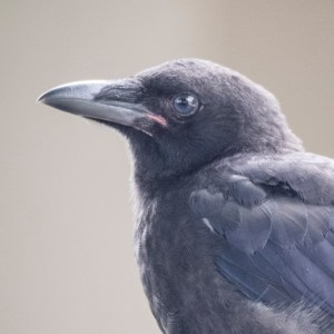 Baby Crow profile close up, photography by June Hunter, part of The Urban Nature Enthusiast blog post Real Baby Crows of East Van, image copyright June Hunter 2017