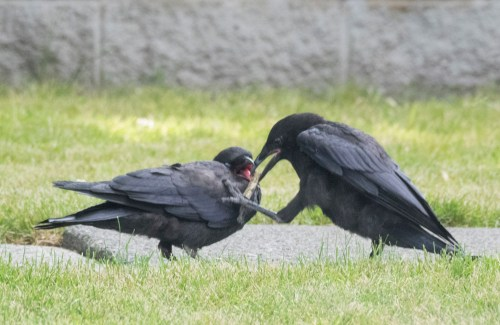 Baby Crow Feeding, photography by June Hunter, part of The Urban Nature Enthusiast blog post Real Baby Crows of East Van, image copyright June Hunter 2017
