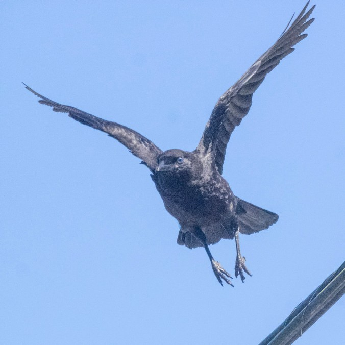 Baby Crow Flying, photography by June Hunter, part of The Urban Nature Enthusiast blog post Real Baby Crows of East Van, image copyright June Hunter 2017