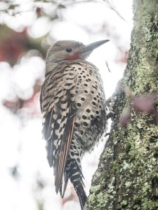 Northern Flicker on mossy tree, photograph by June Hunter, 2017