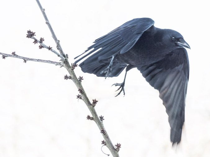 Crow Take Off