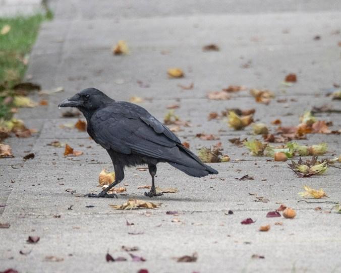 Hazelnuts and Crow