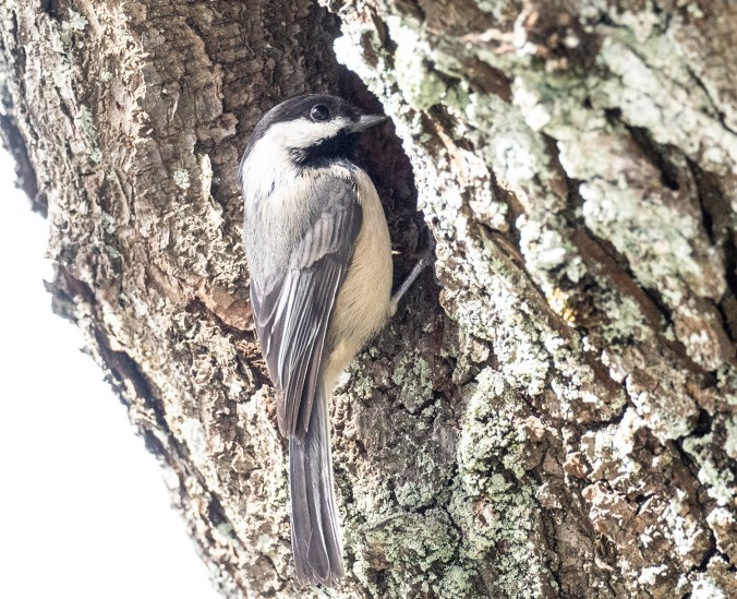 Chickadee Looking Into Nest
