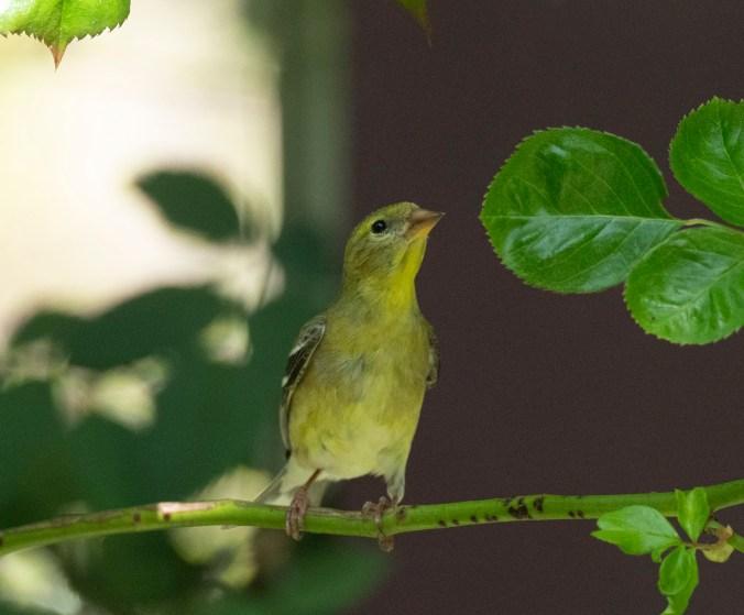 Juvenile American Goldfinch