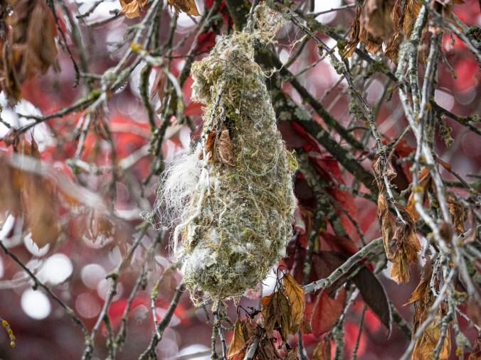 Bushtit nest