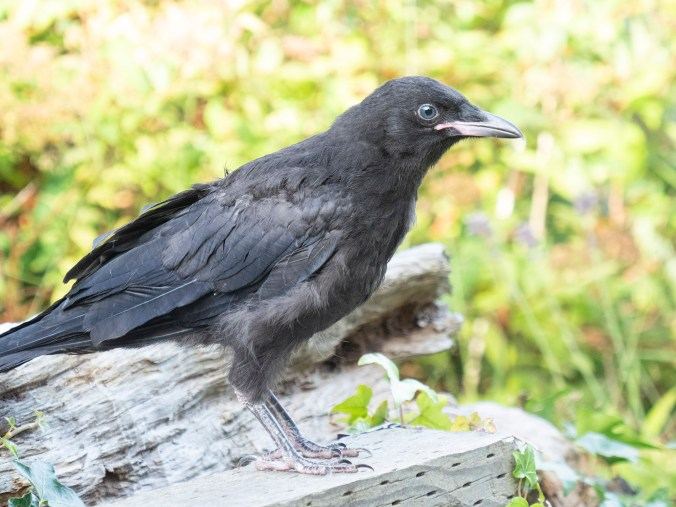 Mabel crow fledgling jul 28