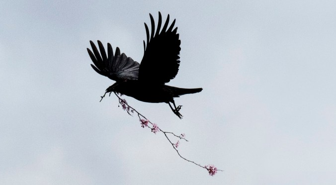 Crow flying against blue sky with trailing branch of blossoms