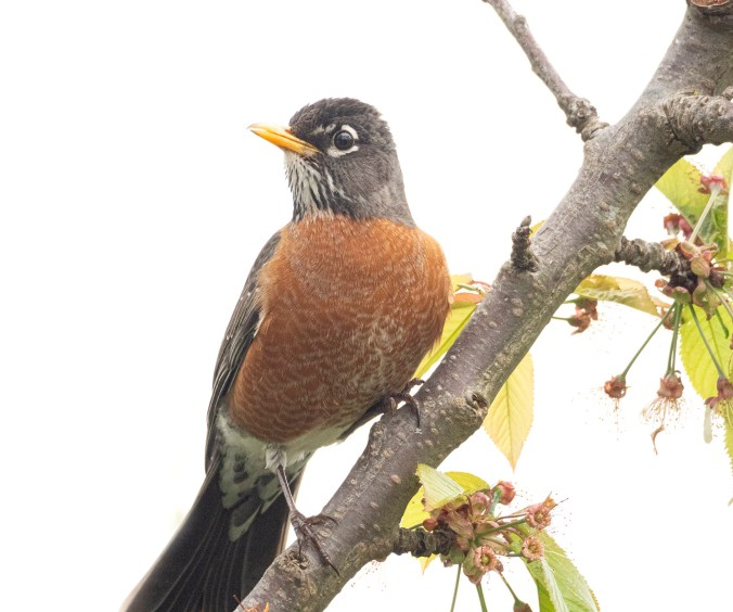 American robin in cherry tree photograph