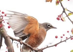 American robin wing flap