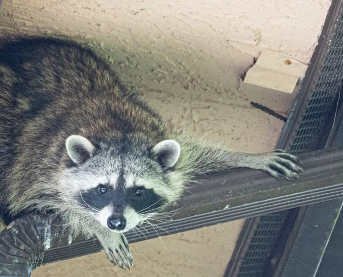 Raccoon on a drainpipe