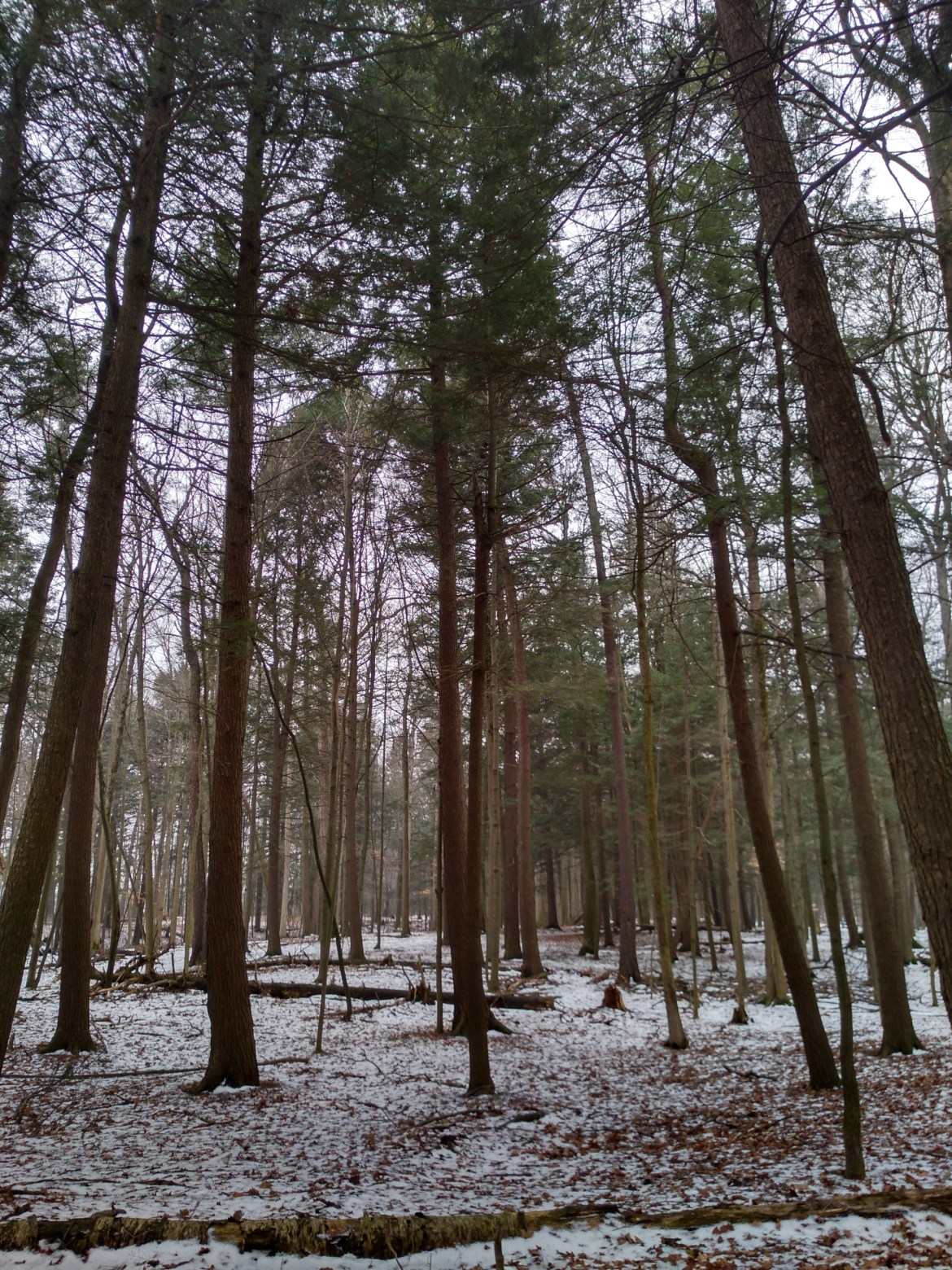 Tall white pine trees on the Rouge Urban National Park's Mast Trail