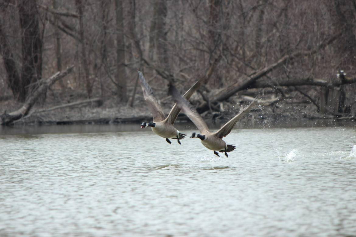Canada geese taking flight on the Humber River in Toronto