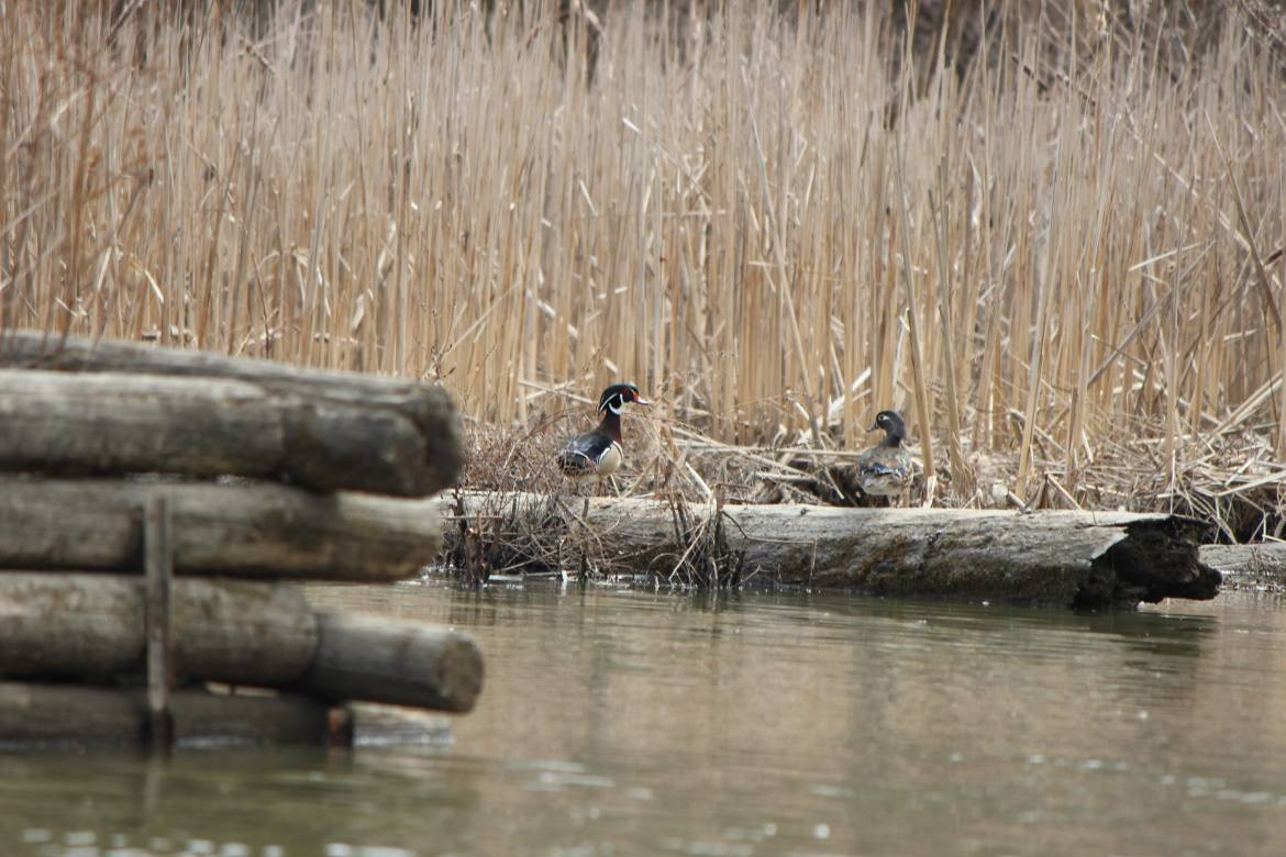 Wood ducks in a marsh on the Humber River in Toronto