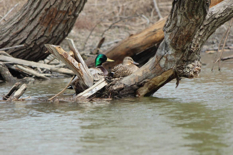 Mallard ducks nesting on the Humber River in Toronto