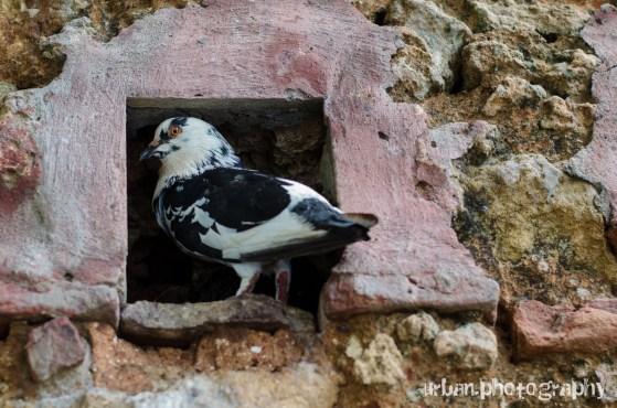 a cow-like pigeon