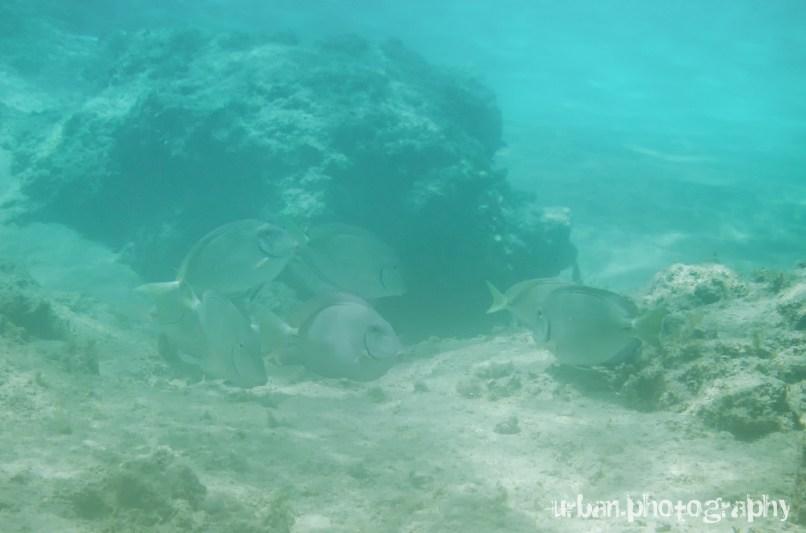 Big purple fish