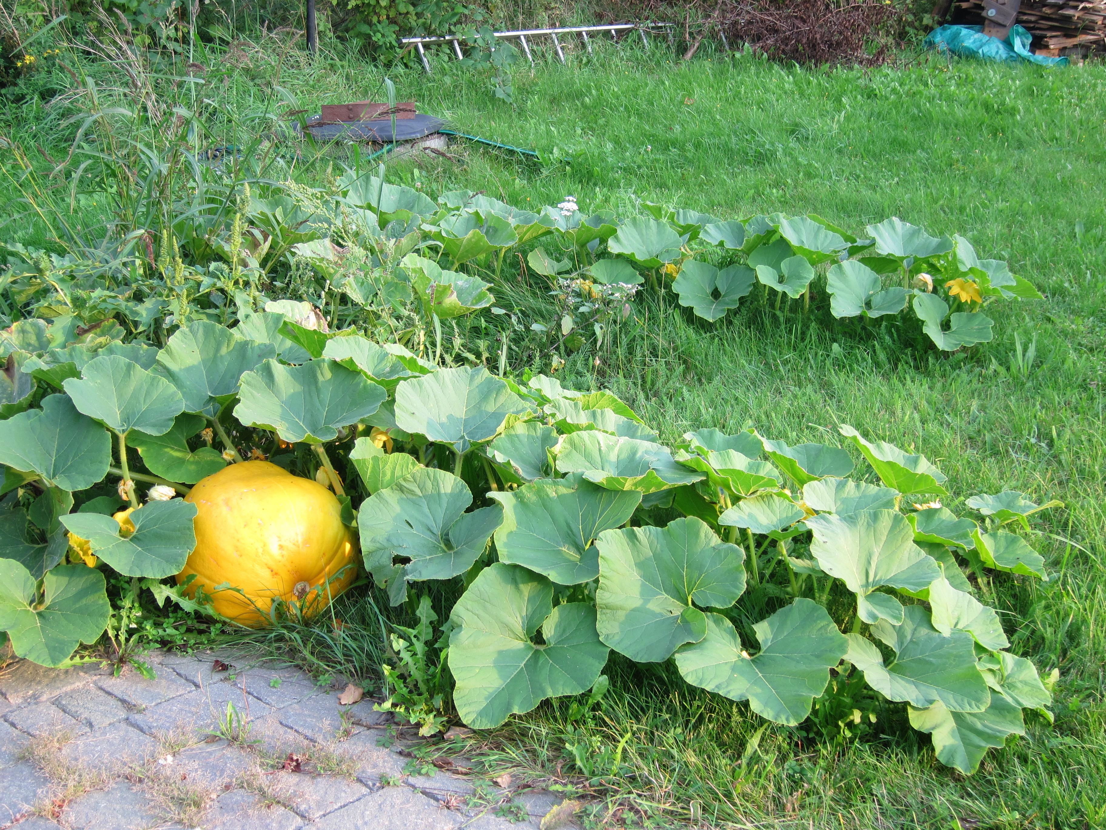 Lichtenberg Walnuts Pumpkins Corn And A Recipe