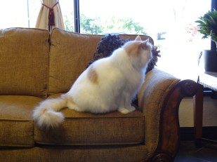 cat on the couch of salon