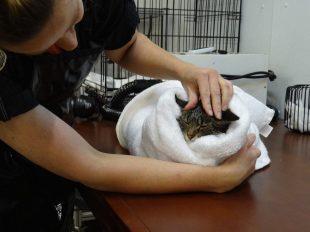 cat after a bath