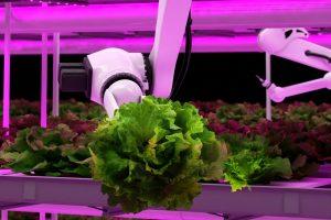 Robot Arm Harvesting Lettuce