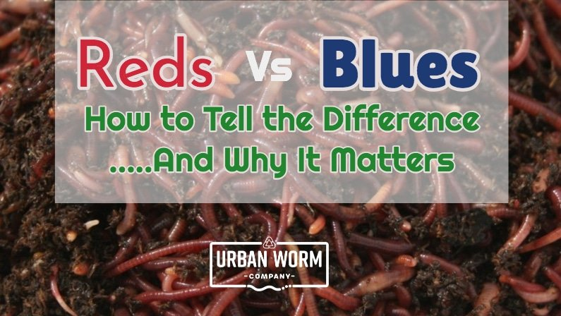 Red Wigglers Vs Indian Blues: How to Tell the Difference