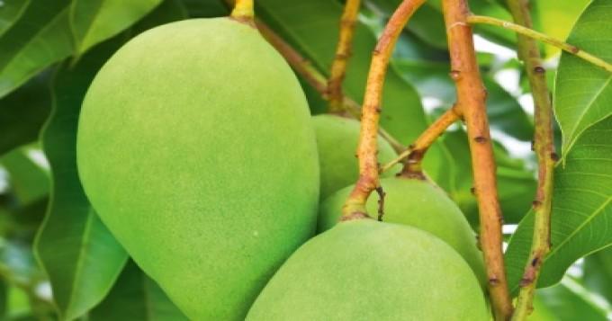 سردی کاموسم آم کے پودوں کو متاثر کرسکتاہے،باغبانوںکو پودوں کو محفوظ رکھنے کیلئے فوری اقدامات کی ہدایت